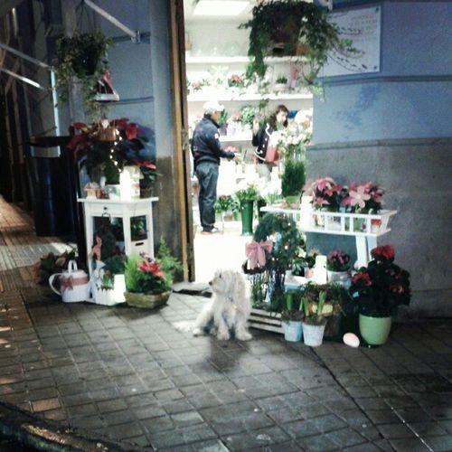 Perro cuidando de su tienda | Dog guarding its shop Dogs Dog Perro Perros  Tienda Shop Guarding LookingAfter Cute White Igers IgersLpa IgersLasPalmas Animals Animal