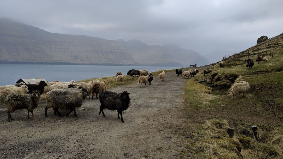 Panoramic view of sheep on landscape against sky
