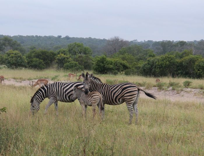 Zebras and deer on grassy field at kruger national park