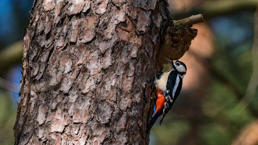 Close-up of woodpecker perching on tree trunk