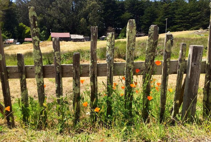 California Poppies Fort Ross Flowers Wood Fence Lichen