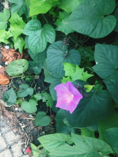High angle view of purple flowering plant leaves