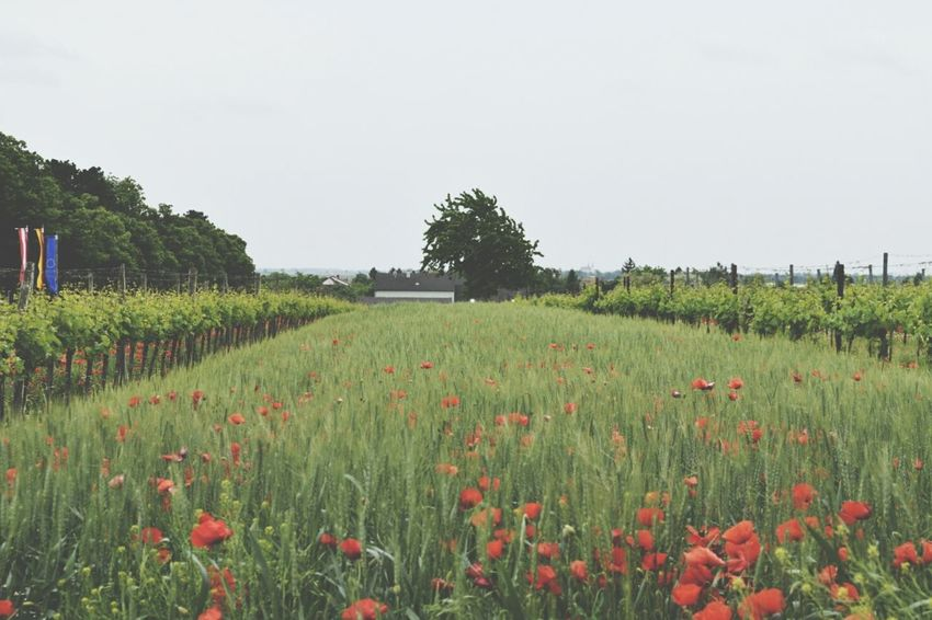 Fields Wine Summer
