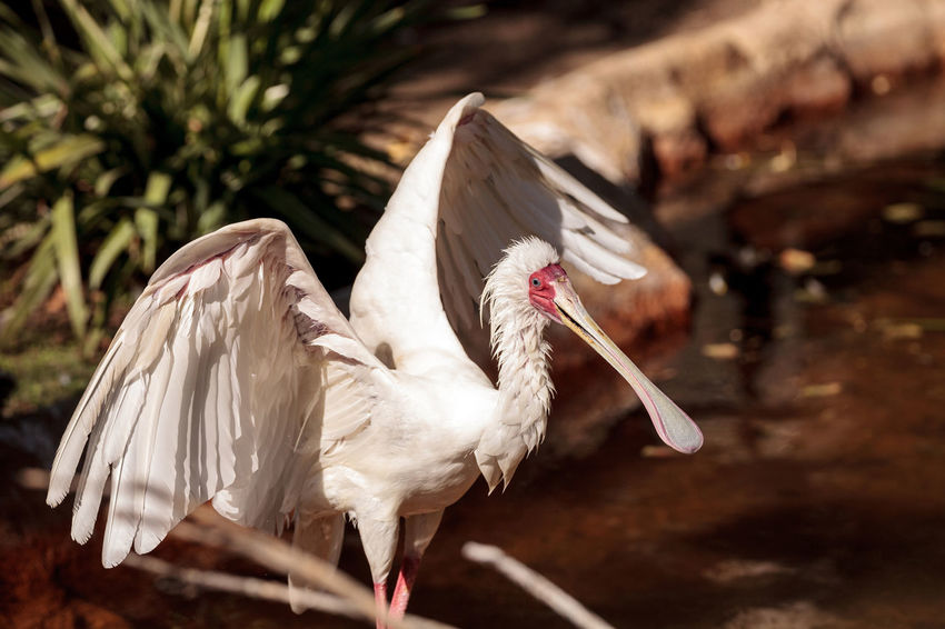 African spoonbill called Platalea alba is found in Gambia and Sudan African Spoonbill Nature Platalea Alba Spoonbill Sudan Wildlife & Nature Animal Themes Animal Wildlife Animals In The Wild Avian Bird Close-up Day Feather  Flat Bill Nature No People Outdoors Wild Bird Wildbird Wildlife