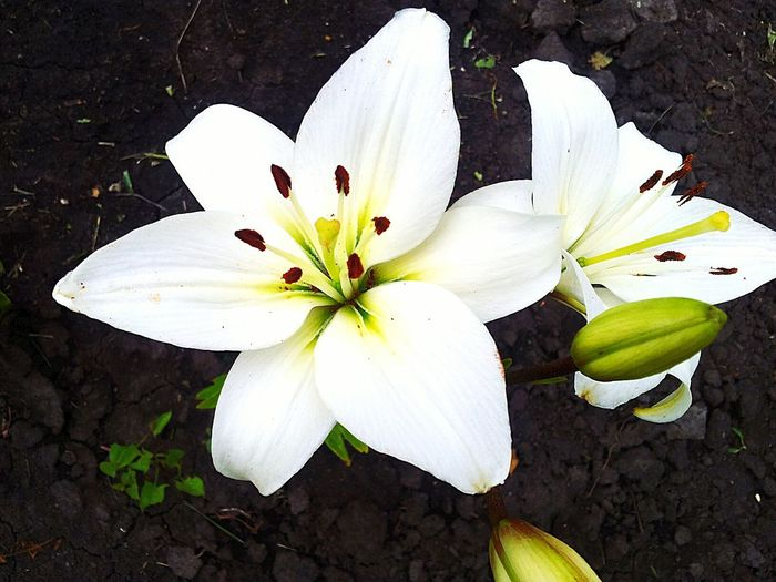 Lily Nature Flowers White Beautiful
