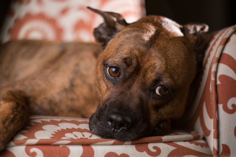 Animal Themes Close-up Day Dog Domestic Animals Home Interior Indoors  Looking At Camera Lying Down Mammal No People One Animal Pets Portrait Yashinon Yashinon DX 50mm F1.4