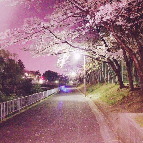 #春天來了#夜桜 Nature 春天來了 夜桜 桜色 桜道 Tree Flower Illuminated Road Sky Cherry Blossom Walkway Cherry Tree Treelined Flower Tree Pathway
