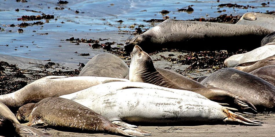 Ano Nuevo State Park Elephant Seals Nature Reserve Reservation The Beach Is Covered With Elephant Seals Animal Photography Wildlife Wildlife Photography Wild Animal Wild Animals