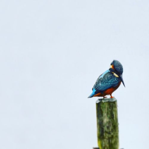 Copy Space Animals In The Wild One Animal Animal Themes Perching Animal Wildlife Bird No People Day Nature Kingfisher Outdoors Beauty In Nature Close-up Kingfisher Nikonphotography Nikon Nikond7200