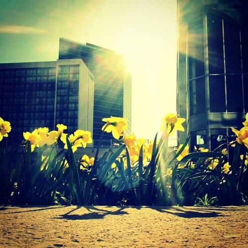 I wish life was simple. Flowers Downtown Ttown Tulsa Yellow Sun Shadow Buildings Perspective