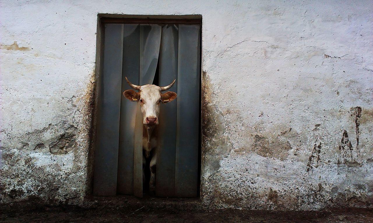Animal Head, Animal Themes, Cow, Day, Domestic Animals
