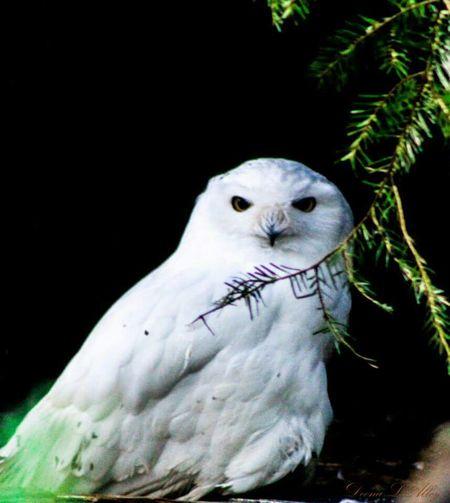 Northwest Trek Wildlife Washington Owl