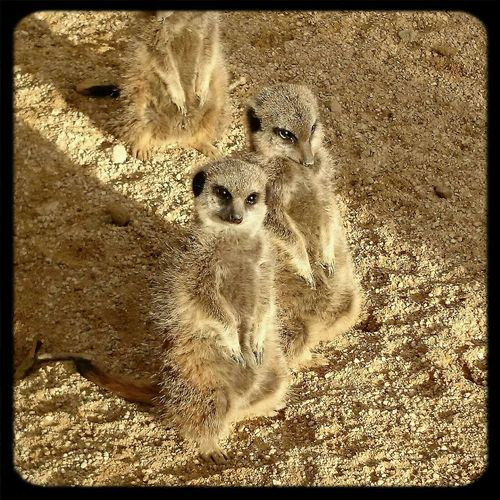 Animals meercat nature