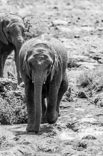 African Elephant Animal Body Part Animal Themes Animal Trunk Animal Wildlife Animals In The Wild Day Elephant Elephant Calf Indian Elephant Mammal Nature No People One Animal Outdoors Standing Young Animal
