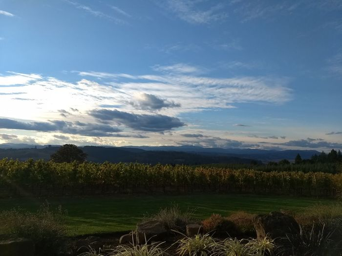Vineyard Oregon