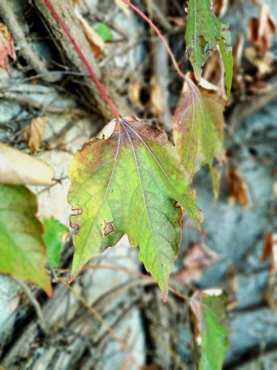 Leaf. Leaf Nature Day Close-up Outdoors No People Focus On Foreground Green Color Growth Plant Beauty In Nature Streetphotography Details Of Nature Flora Ortobotanico Garden Photography Colour Of Life Green Color Plant Fragility Bye Autumn Leafs Photography Autumn Colors Autumn Leaves