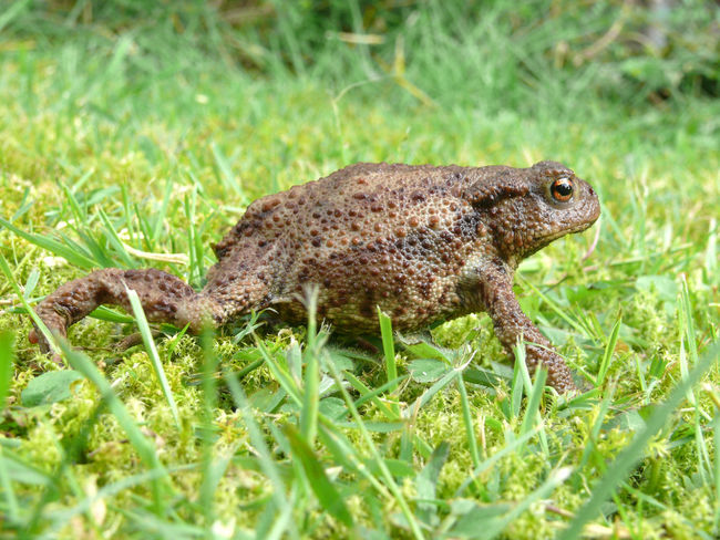 Animal Animal Themes Animals In The Wild Bufo Bufo Bufo Close-up Day Earth Toad Erdkröte Focus On Foreground High Angle View Kröte Macro Nature No People One Animal Toad Wildlife