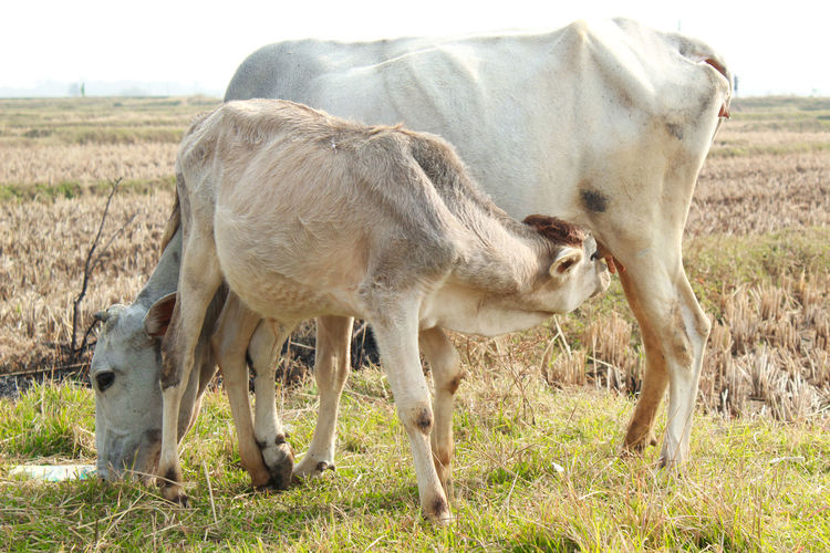 cow breastfeeding in a grass field Livestock Mammal Domestic Animals Animal Animal Themes Domestic Field Pets Group Of Animals Land Grass Vertebrate Plant Landscape Nature Two Animals Young Animal No People Day Agriculture Animal Family Herbivorous Outdoors Breastfeeding Everywhere