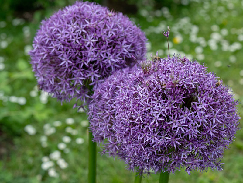 Allium cristophii commonly known as Star of Persia purple flower is a herbaceous perennial plant** Note: Shallow depth of field Allium Cristophii Star Of Persia Purple Flower Beauty In Nature Blossom Botany Close-up Day Flower Flower Head Flowering Plant Focus On Foreground Fragility Freshness Growth Inflorescence Lilac Nature No People Outdoors Petal Plant Purple Springtime Vulnerability