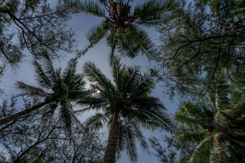 titian Tree Plant Growth Tranquility Beauty In Nature Low Angle View Palm Tree Sky Tropical Climate Tree Trunk No People Trunk Nature Day Scenics - Nature Tall - High Tranquil Scene Land Outdoors Non-urban Scene WoodLand Directly Below Coconut Palm Tree Tree Canopy