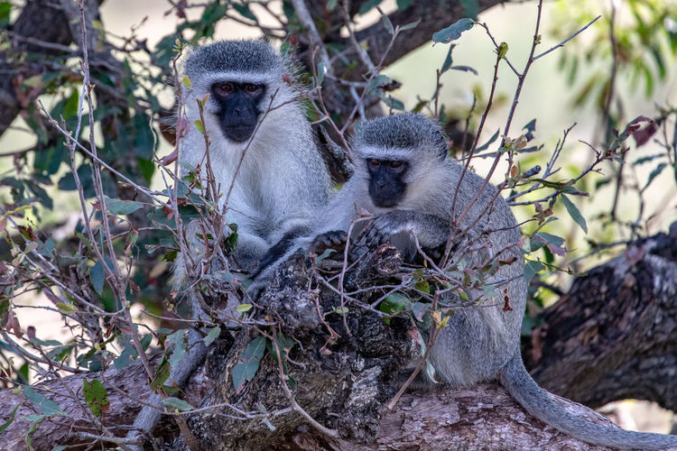 Green Monkey Kruger Park South Africa Vervet Monkey Animal Family Animal Wildlife Animals In The Wild Branch Care Chlorocebus Day Focus On Foreground Group Of Animals Mammal Nature No People Outdoors Plant Primate Safari Animals Sitting Tree Two Animals Vertebrate Young Animal