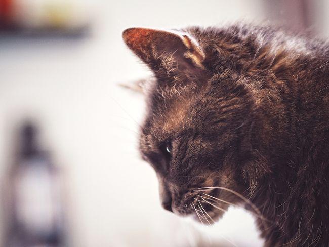 Pets Portrait Ear Dog Domestic Cat Cute Close-up Feline Whisker Yellow Eyes Cat Animal Eye Animal Hair Nose Animal Nose