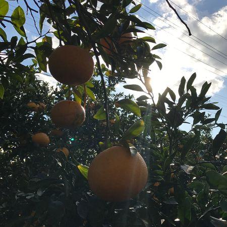 Mandarin Fruit Mandarin Tree Nature Sky