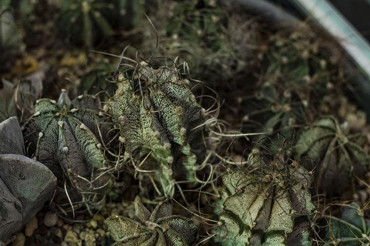 Cactus Plant No