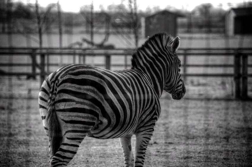 Yorkshire Wildlife Park Yorkshire Wildlife Park Zebra Throughthefence Zoo Blackandwhite Black And White