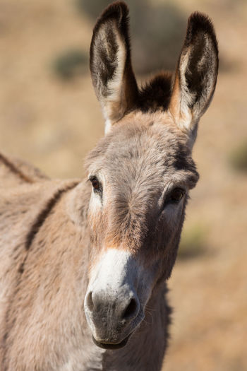 Donkey face Headshot Looking At Camera Portrait Outdoors Donkeys Donkeylove Donkey Time Animal Themes Equine Gunlock State Park Utah EyeEm Selects