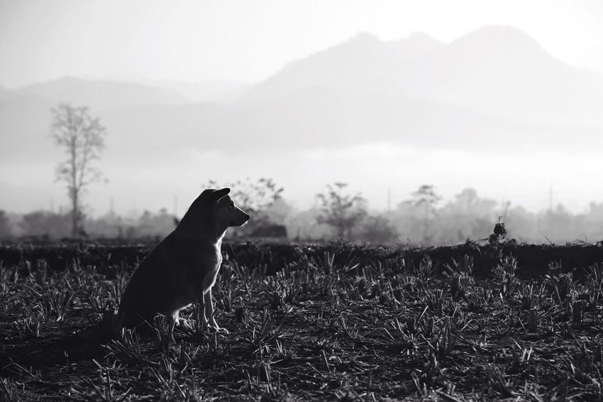 Dog Mountain Field Fog Blackandwhite Black And White Blackandwhite Photography Pai Animal Themes One Animal Nature Landscape Outdoors Domestic Animals Day Sky Silhouette Mammal Beauty In Nature Grass Pets Tree Bird Thailand Thailandphoto Lost In The Landscape EyeEmNewHere