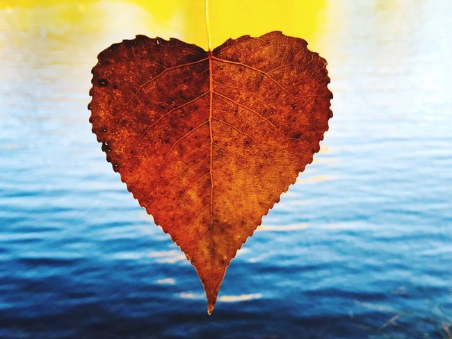 Love Romantic Love ♥ Inlove Valentine Leaf Autumn Change Dry Water Beauty In Nature Nature Tranquility Poplar Poplar Leaves Leaves Autumn Autumn Colors Heart Heart Shape Heart Leaf Fall Colors Fall Leaves Brown Romanticism