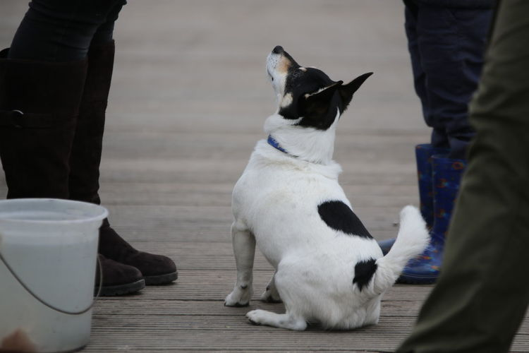 Low section of sitting dog begging