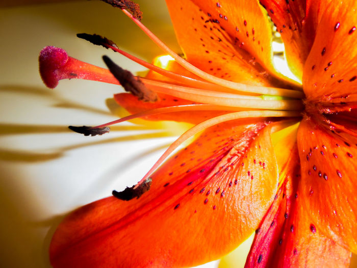 red lily Beauty In Nature Blossom Blume Botany Close-up EyeEmNewHere Flower Flower Head Fragility Freshness Growth Lilie Lily Nature No People Orange Color Petal Pistil Plant Pollen Red Red Lily Rote Lilie Stamen Vibrant Color
