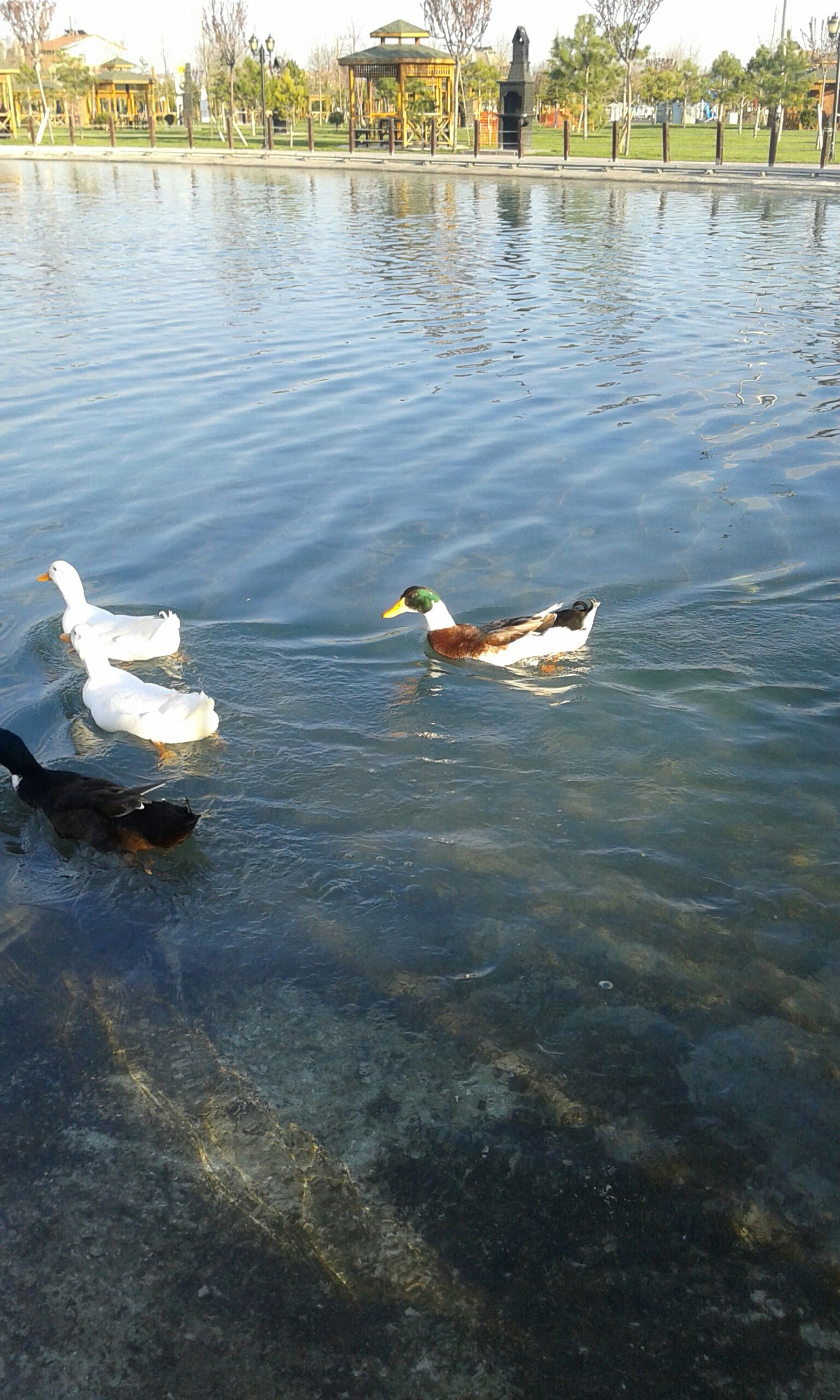 water, bird, animal themes, animals in the wild, wildlife, lake, swimming, reflection, swan, duck, waterfront, water bird, rippled, nature, medium group of animals, two animals, tree, river, pond