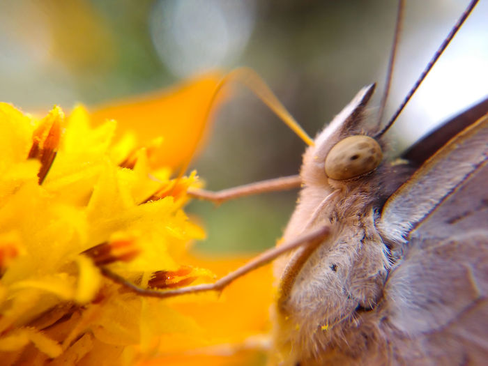 Macro Insect Butterfly Flower Flower Head Yellow Flower Animal Themes One Animal Close-up Nature Living Organism No People Butterfly - Insect Outdoors Full Length Beauty In Nature Fragility Day Animal Wildlife Beauty In Nature Sky Nature Focus On Foreground Flowers Garden 17.62°