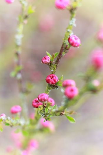 Flower Growth Nature Beauty In Nature Freshness Plant Flower Head Outdoors Blooming Pink Color Blumen Blüten Rosa Pflanze  Frühling