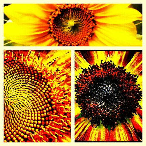 Flowers Sunflower Sunflowers Fine Art Photography
