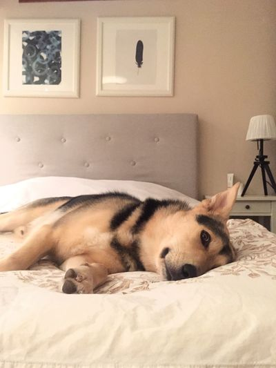 Those lazy days Bed Lazy Spoiled Dog Bedroom Puppy Dog In Bed One Animal Animal Pets