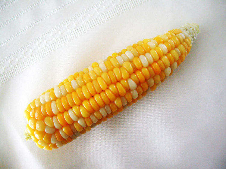 Agriculture Close-up Corn Corn - Crop Corn On The Cob Food Food And Drink Freshness Healthy Eating High Angle View Indoors  No People Raw Food Still Life Sweetcorn Table Vegetable Vegetarian Food Wellbeing White Background Yellow