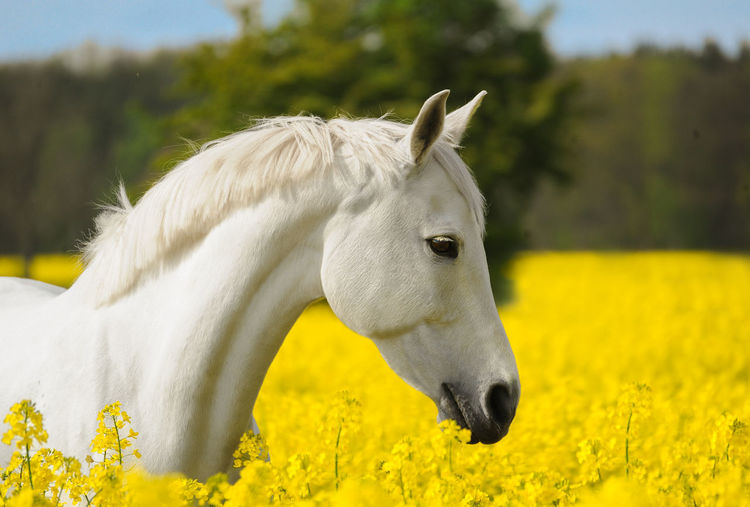 Arabian horse in a flower field Animal Themes Arabian Horse Beauty Beauty In Nature Close-up Day Domestic Animals Field Flower Flowers Focus On Foreground Free Freedom Horse Livestock Mammal Nature No People One Animal Outdoors Romantic Sky White Wildlife & Nature Yellow