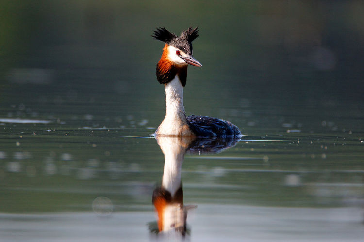 The great crested grebe on crna mlaka fishpond