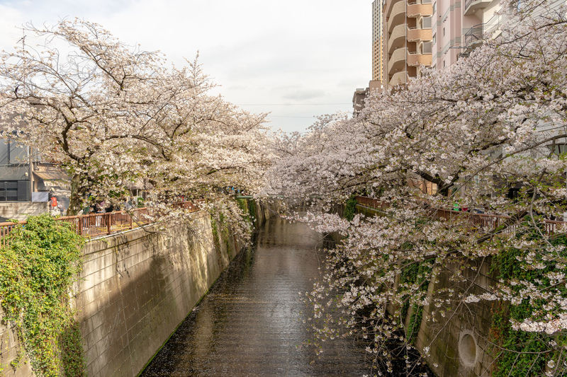 View of cherry blossom along canal