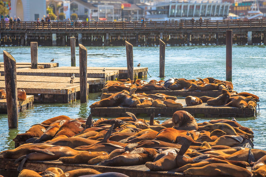 Crowds of sea lions colony at Pier 39 in San Francisco. Pier 39 is tourist attraction in San Francisco, California, United States. Travel holidays concept. Summer sun light. San Francisco United States USA California Golden Gate Bridge Animal Wildlife Beach Sea Ocean Portrait Pier 39 Marina Fisherman Wharf Fisherman Boats Sea Lion Animals Water Group Of Animals Architecture Seal Built Structure Large Group Of Animals Animals In The Wild Nature Day Pier Animal Themes Animal Wildlife Travel Destinations No People Seal - Animal Outdoors Wooden Post