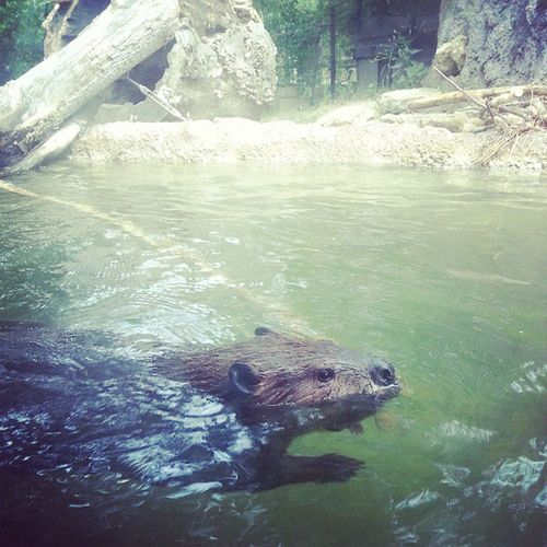 Beavers freak me out but he was okay lol Beaver Columbuszoo Waterrodents are my fear /: lol