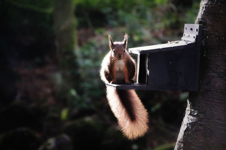 Funky Fluffy... Forrest Shilhouette Feeder Redsquirrel Animal Themes Animal Mammal One Animal Vertebrate Animal Wildlife Animals In The Wild No People Focus On Foreground Squirrel Day Tree
