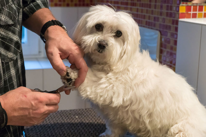 Cropped Hands Of Male Vet Cutting Maltese Dog Hair