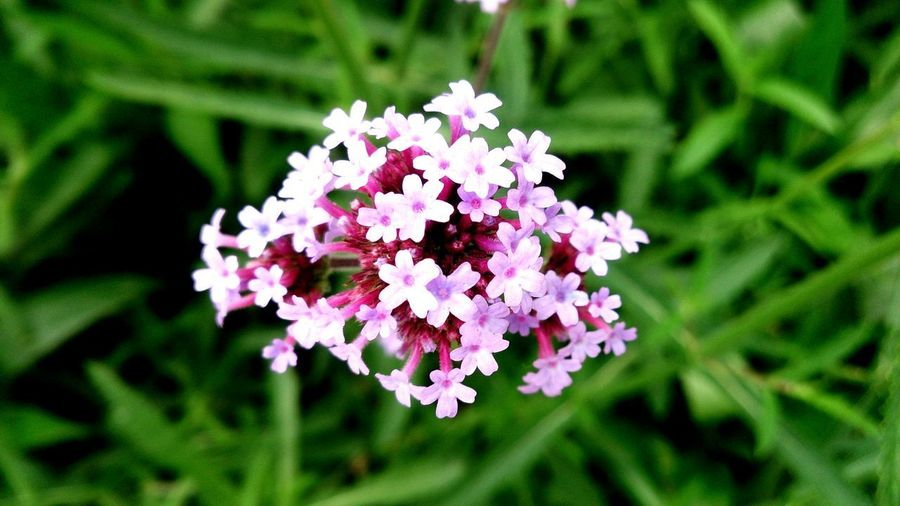 Nature Flower Head Flower Pink Color Close-up Plant Flowering Plant Petal In Bloom Blossom Plant Life Blooming
