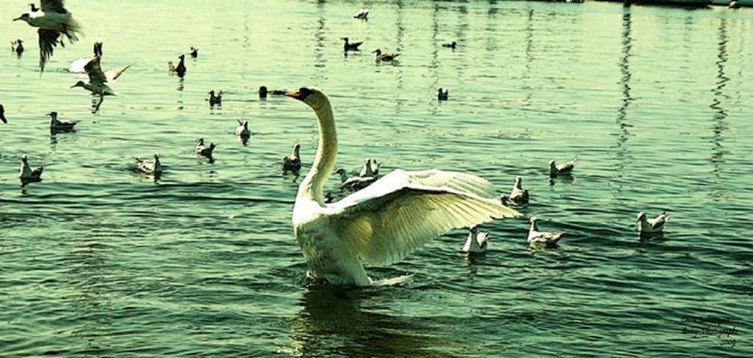 Photo à part de mon projet. Sony Photography Photo Beautiful Onceuponatime Beautiful World Iletaitunefois Magical Magic Magnifique Cygne Cygnus Beautiful Animals  Fairy Fairytale  Swan EyeEm Nature Lover EyeEm Best Shots Showcase: January From My Point Of View Sonyphotography Cute Pets Hanging Out Photography In Motion Swan Lake