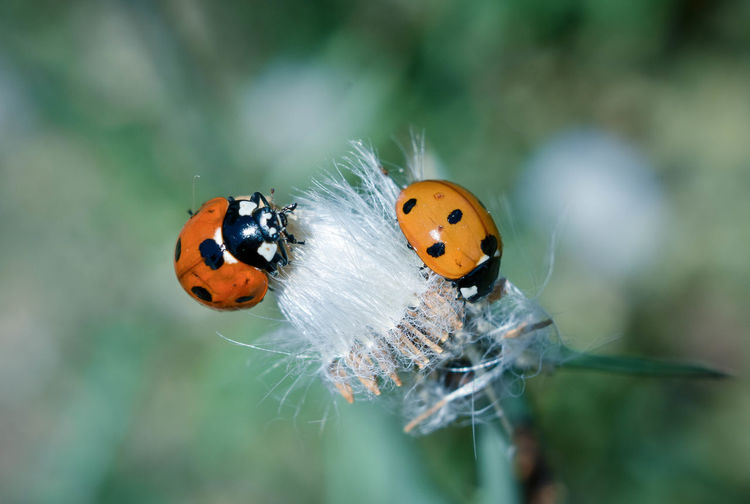 Ladybugs Insect